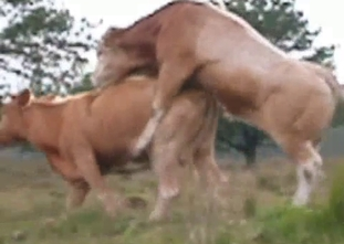 Wild bull fucks a cow in doggy style pose