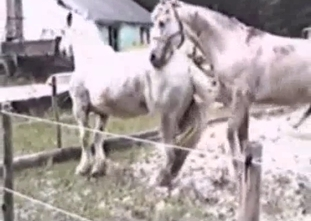 White stallion is fucking another horse like a pro